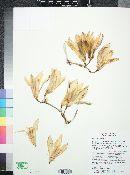 Yucca baccata image