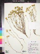 Chaenactis stevioides image