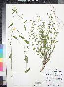 Haplophyton cimicidum var. crooksii image