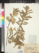 Image of Clutia affinis