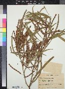 Acacia saligna image