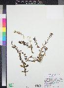 Stemodia durantifolia image