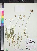 Gaillardia pinnatifida image