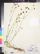 Coreopsis tinctoria image