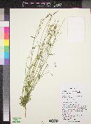 Gilia stellata image