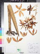 Yucca filifera image