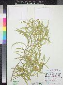Image of Acacia oswaldii