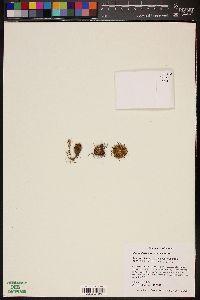 Image of Mammillaria mercadensis