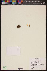 Image of Mammillaria tezontle