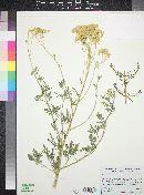 Image of Hymenothrix wislizeni