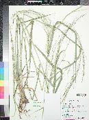 Panicum virgatum image