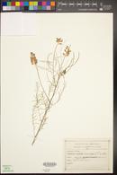 Parryella filifolia image