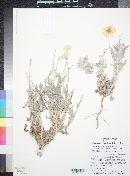 Baileya multiradiata image
