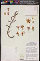 Cylindropuntia leptocaulis x versicolor image
