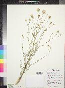 Brickellia eupatorioides var. chlorolepis image