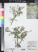 Ziziphus obtusifolia var. canescens image