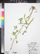 Polanisia dodecandra subsp. trachysperma image
