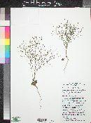 Prenanthella exigua image