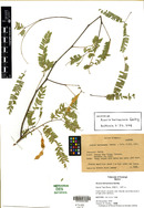 Image of Acacia barrancana
