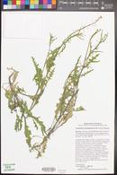 Caulanthus lasiophyllus image
