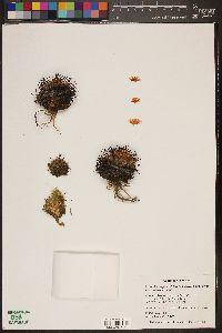 Image of Mammillaria perezdelarosae
