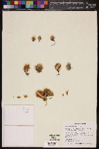 Image of Mammillaria schwarzii