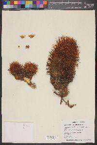 Image of Mammillaria rettigiana