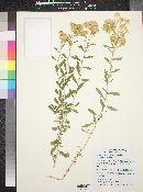 Isocoma acradenia var. eremophila image