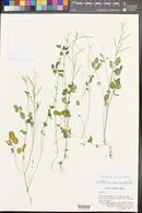Image of Cardamine ramosa