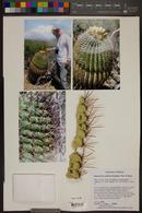 Ferocactus wislizeni image