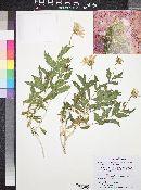 Xylorhiza tortifolia var. imberbis image