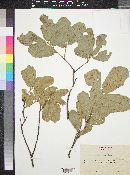 Quercus chihuahuensis image