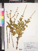 Image of Salvia rugosa