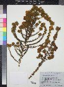 Aspalathus ciliaris image