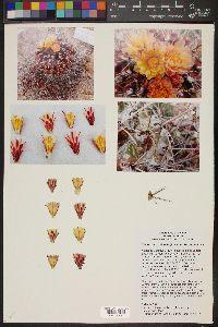 Image of Thelocactus tulensis