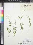 Cleome melanosperma image