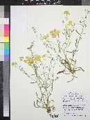 Psilostrophe sparsiflora image