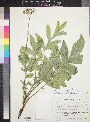 Hydrophyllum occidentale image