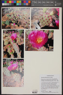 Opuntia pinkavae image