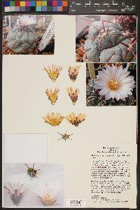 Image of Thelocactus hexaedrophorus