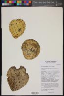 Opuntia microdasys image