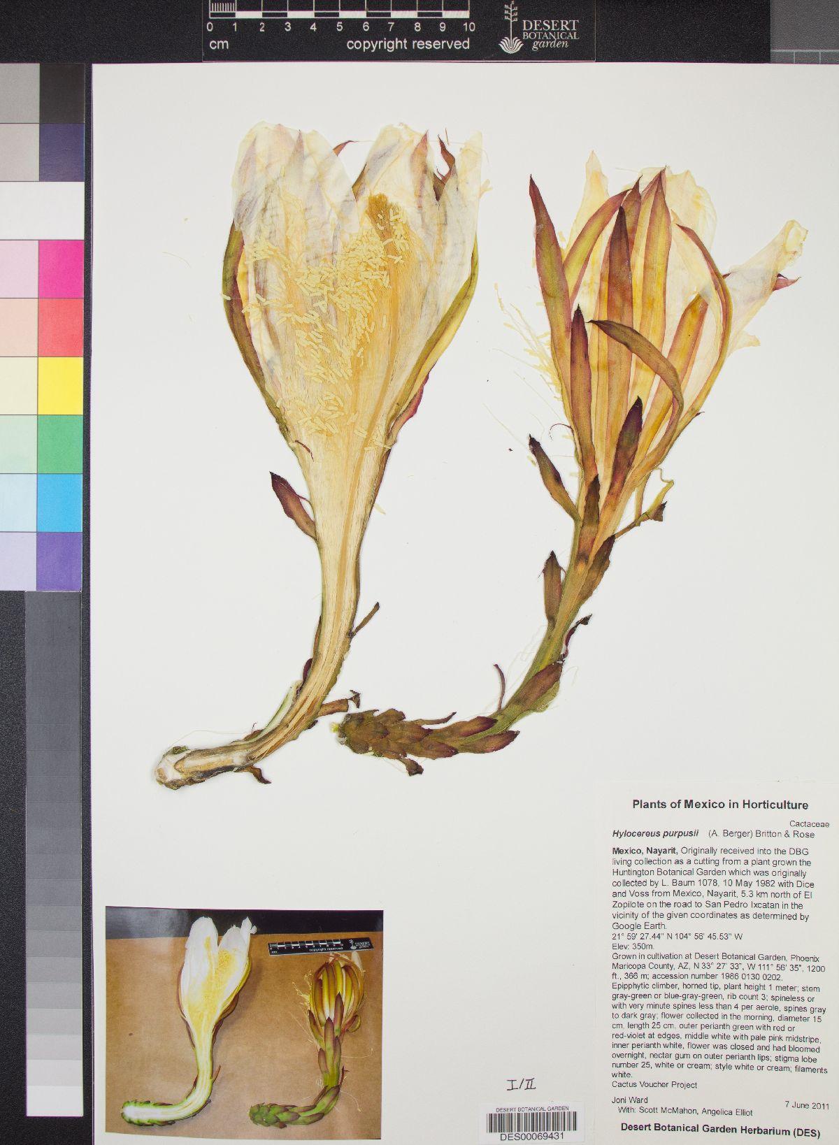 Hylocereus purpusii image