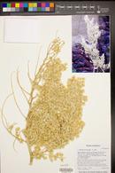 Nolina microcarpa image