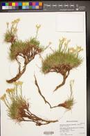 Petradoria pumila var. graminea image
