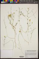 Amphipappus fremontii var. spinosus image