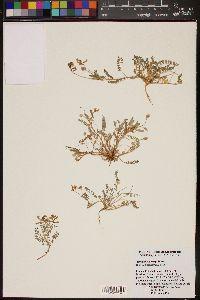 Image of Astragalus gentryi