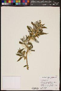 Xanthium spinosum image