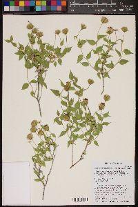 Brickellia atractyloides image