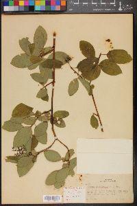 Image of Cornus californica