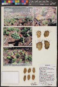Opuntia fragilis image